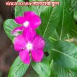 vinca rosea first vinblastin